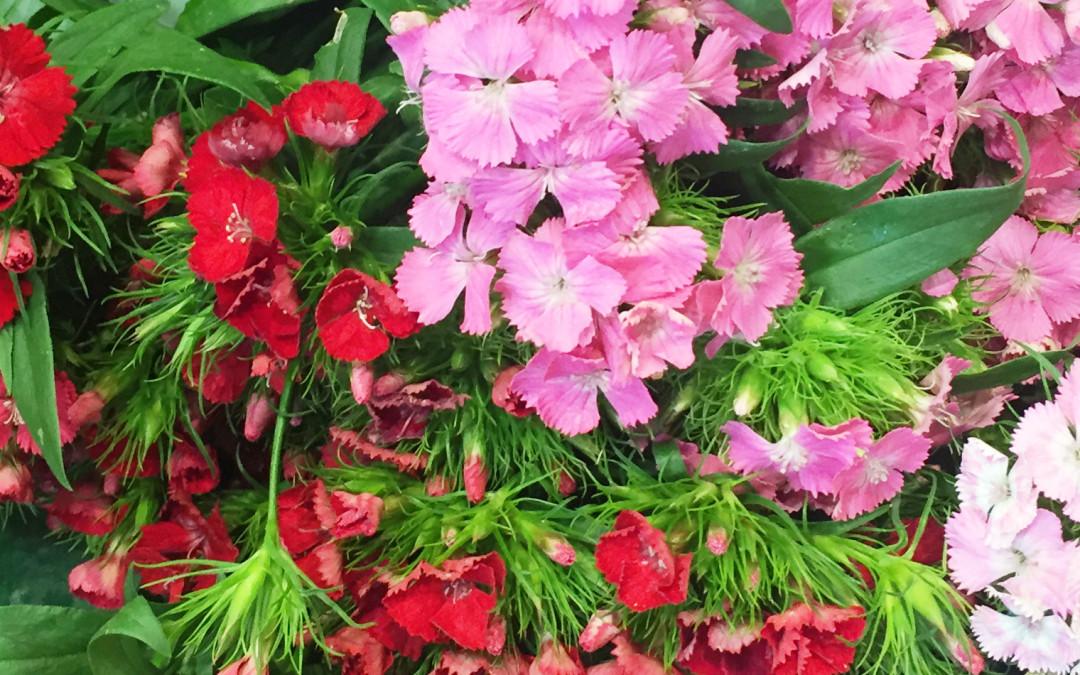 Le dianthus barbatus ou oeillet de poète