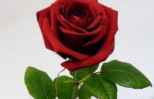 rose-rouge-saint-valentin