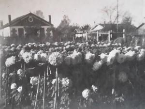 champ-chrysanthème