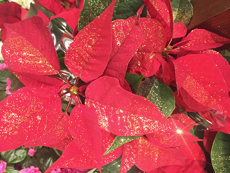 Prendre soin de nos plantes de fêtes !