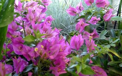 fleurs-bougainvilier-bordeaux