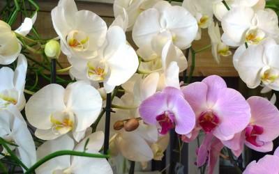 orchidee-fleuriste-bordeaux