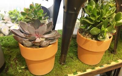 Les plantes grasses